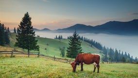 在山的母牛 免版税库存图片