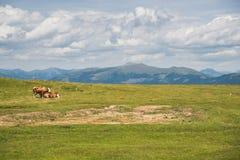 在山的母牛 免版税库存照片