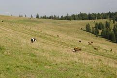 在山的牛 库存照片