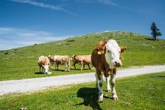 在山的特写镜头母牛 库存图片