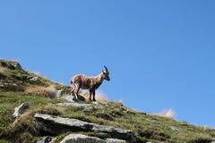 在山的狂放的羚羊 免版税图库摄影