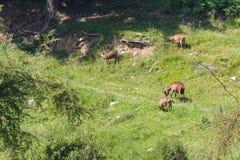 在山的獐鹿 免版税库存照片