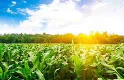 在山的玉米 免版税库存照片
