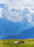 在山的瑞士母牛在阿尔卑斯 库存图片