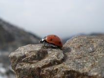 在山的瓢虫 免版税库存图片