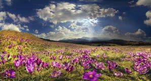 在山的番红花 免版税库存图片