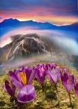 在山的番红花 免版税图库摄影