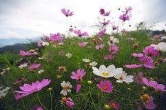 在山的空白和桃红色花 免版税图库摄影