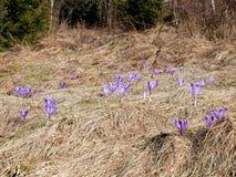 在山的第一朵春天花 免版税库存图片