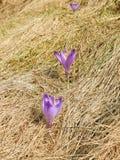 在山的第一朵春天花 3 库存图片