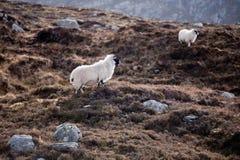 在山的绵羊在刘易斯和哈里斯小岛  图库摄影
