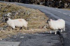 在山的绵羊在刘易斯和哈里斯小岛  免版税库存图片
