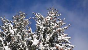 在山的美好的冬天风景 有树的森林在雪在晴朗的冬日 多雪的森林松树cov风景看法  股票视频