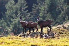 在山的羚羊家庭 免版税库存照片