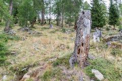 在山的老腐烂的树干 免版税库存图片