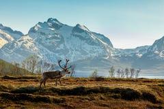 在山的背景的一头驯鹿 免版税图库摄影
