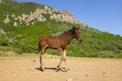 在山的脚的逗人喜爱的幼小马 驹在Demergy山前面站立在晴朗的春日 图库摄影
