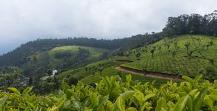 在山的茶耕种 免版税库存图片