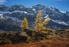 在山的落叶松属 免版税库存图片