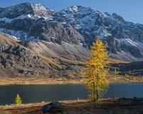 在山的落叶松属 库存照片