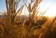 在山的蒲苇在日落在东南亚 库存照片