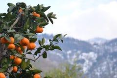 在山的蜜桔 库存照片