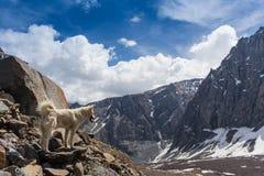 在山的西伯利亚爱斯基摩人狗 免版税图库摄影