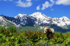 在山的野生母牛 免版税库存照片