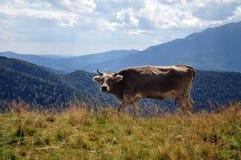在山的野生母牛 免版税图库摄影