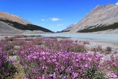 在山的野花。贾斯珀国家公园,加拿大 库存照片