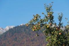 在山的野苹果树 免版税库存照片