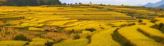 在山的金黄米领域 免版税图库摄影