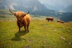 在山的长毛的母牛 库存图片