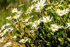 在山的雏菊在马德拉岛的海岛的北部 免版税库存照片