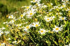 在山的雏菊在马德拉岛的海岛的北部 免版税图库摄影