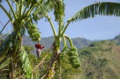 在山的香蕉树 免版税库存照片