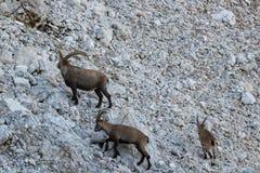 在山的高地山羊家庭 免版税图库摄影