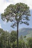 在山的高大的树木 免版税库存照片