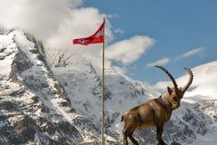 在山的高山高地山羊雕象在大格洛克纳山地区在奥地利 库存图片
