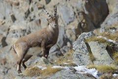 在山的高山高地山羊,山羊属高地山羊,男性, Gran Paradiso国家公园,阿尔卑斯,意大利,欧洲 免版税库存照片