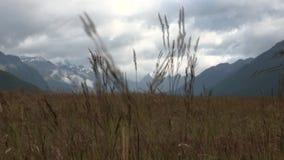 在山的麦子金黄小尖峰在背景天空和云彩在新西兰 股票录像