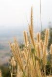 在山的稻科植物类草 库存图片