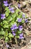 在山的紫罗兰 免版税库存图片