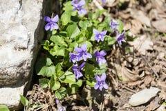 在山的紫罗兰 图库摄影