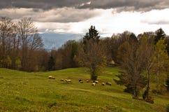 在山的绵羊吃草秋天, Radocelo山 库存照片