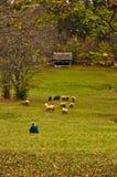 在山的绵羊吃草秋天, Radocelo山 免版税库存图片