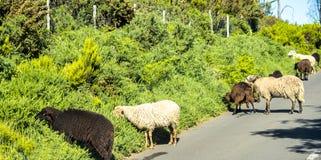 在山的绵羊在马德拉岛的海岛的北部 库存照片