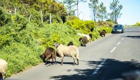 在山的绵羊在马德拉岛的海岛的北部 库存图片