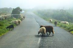 在山的绵羊在马德拉岛的海岛的北部 图库摄影