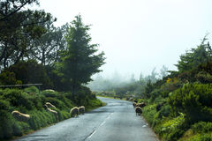 在山的绵羊在马德拉岛的海岛的北部 免版税库存图片